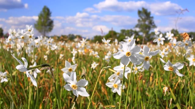 White narcissus growing in the spring field. Field of flowering daffodils video