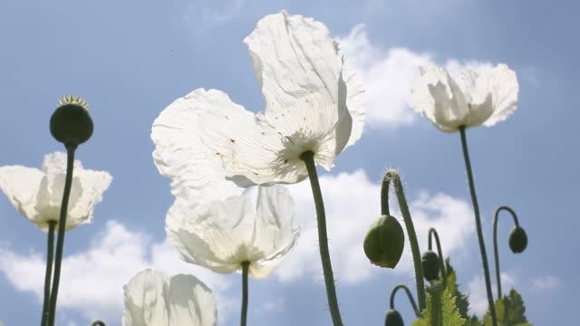 White Opium Poppy Heads On Blue Sky video