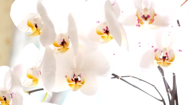 white orchid blooms video