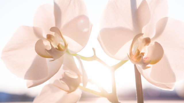 White orchid blossoms illuminated by sunlight video