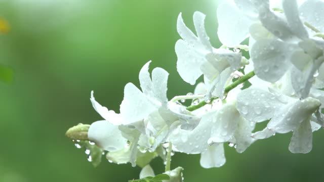 White Orchid in rain