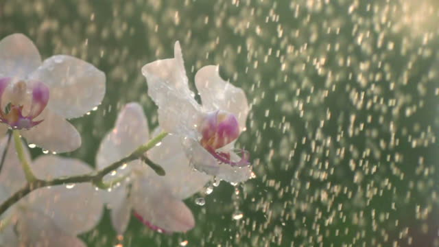 White Orchid In Shower Slow Motion video