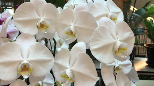 vídeos de stock e filmes b-roll de white orchid on tree , phalaenopsis - flower white background