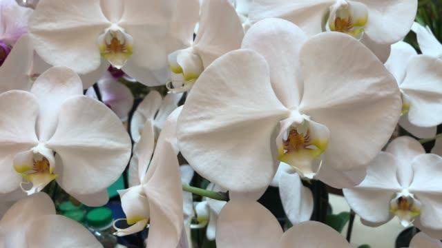 white orchid on tree , Phalaenopsis