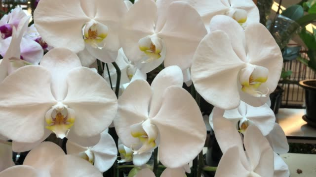 white orchid on tree , Phalaenopsis