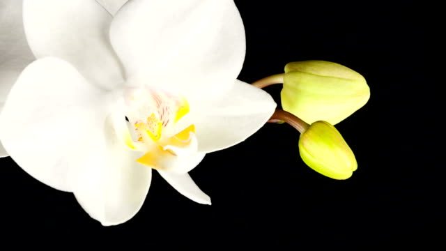 White Orchid Opening; TIME LAPSE video