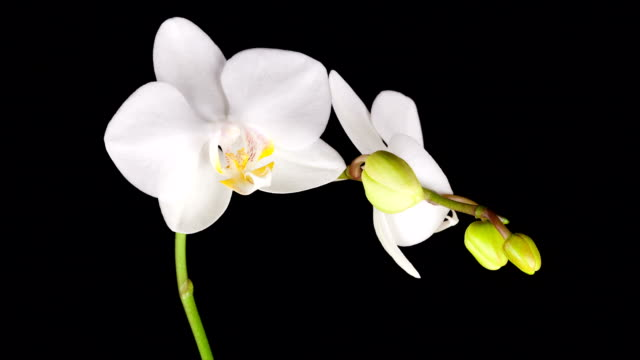 White Orchid Opening; TIME LAPSE
