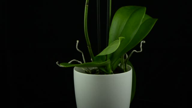 White orchid White orchid plant on a white pot rotating on black background. flower pot stock videos & royalty-free footage