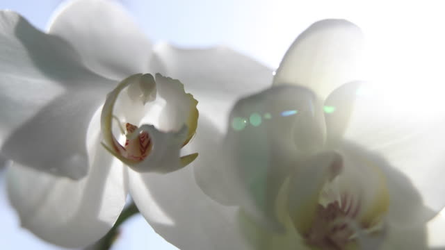 weiße orchideen auf sonnenlicht, die grüne knospe, eine neue blume, ein schmetterling, makro, phalaenopsis, doritis, grafia, kingidium, kingiella, lesliea, synadena, stauroglottis, stauritis, polystylus, polychilos - orchidee stock-videos und b-roll-filmmaterial