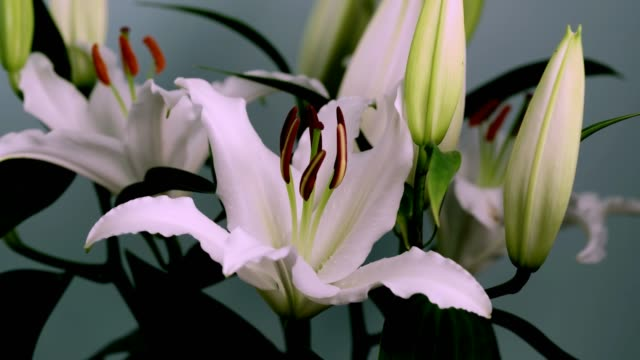 White Oriental Lily Flower Opening - Time Lapse
