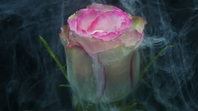 white paint drop into Pink rose slow motion