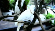 istock White parrot in the zoo 465981681