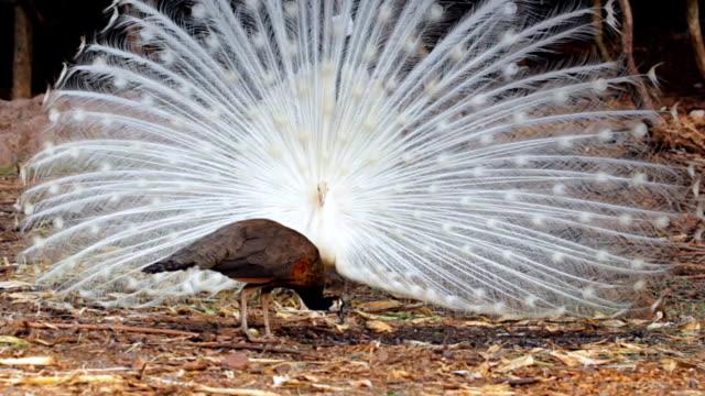 белый павлин отобразить его ярких перьев. - peacock стоковые видео и кадры b-roll