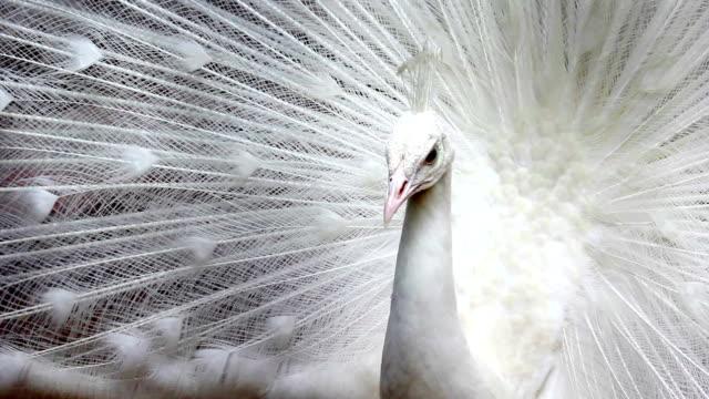 белый павлин - peacock стоковые видео и кадры b-roll