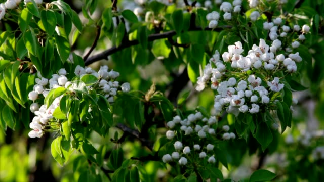 White pear blossom with new green leaves, trembling in the spring light wind video