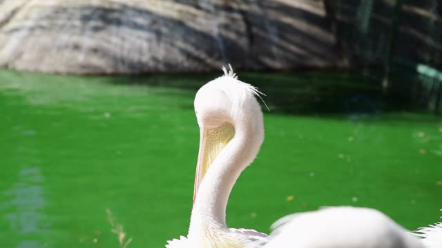 white pelican cleans feathers on a pond white pelican cleans feathers on a pond, summer day sac stock videos & royalty-free footage