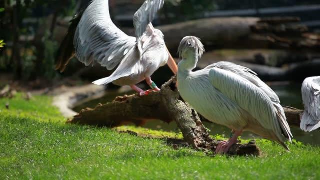 White pelican (Pelecanus onocrotalus) standing on grass video