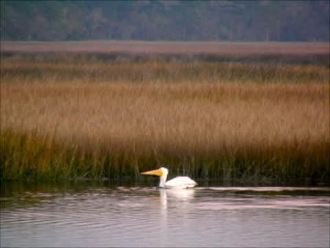 white pelican - anmut stock-videos und b-roll-filmmaterial