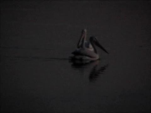 pellicano bianco - uccello acquatico video stock e b–roll