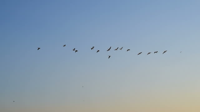 white pelicans fly in sky video