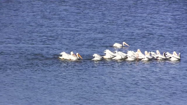 White Pelicans Swimming On Lake In Group Feeding White Pelicans On Big Bear Lake Southern California Swimming And Feeding Together pelican stock videos & royalty-free footage