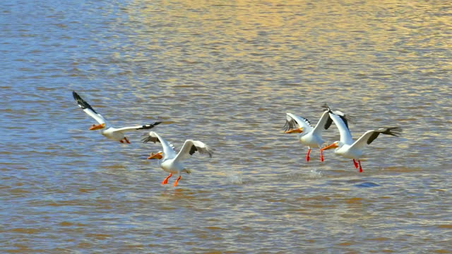 White Pelicans taking flight over turbulent muddy waters, slow motion White Pelicans taking flight over turbulent muddy waters, slow motion. pelican stock videos & royalty-free footage