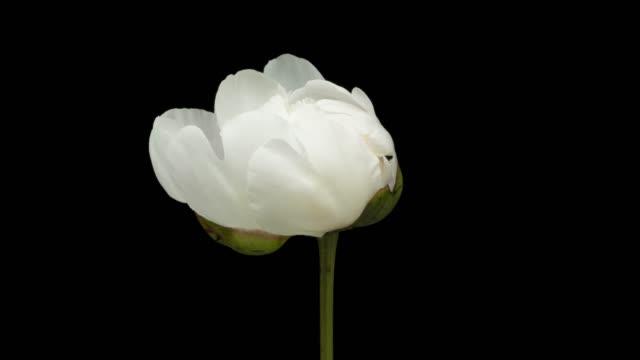 weiße pfingstrose blüte zeitraffer - einzelne blume stock-videos und b-roll-filmmaterial