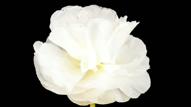 White Peony; TIME LAPSE video