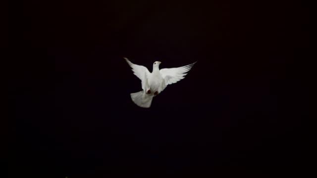 white pigeon flying on black background, ultra slow motion - battere le ali video stock e b–roll