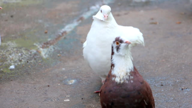White pigeons in front of camera video