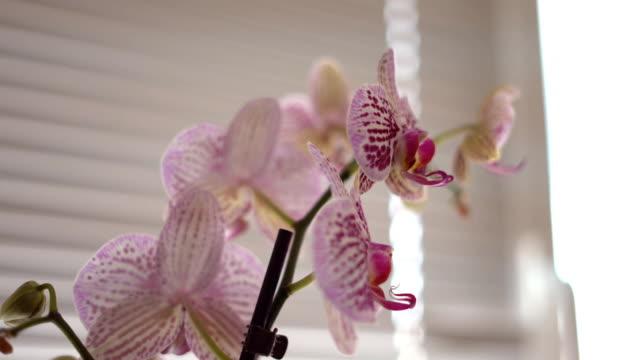 weiß, rosa und lila orchideen auf das fenster im fenster stehen. ein klares bild in guter qualität 4 k weichen hintergrund konzentrieren. - orchidee stock-videos und b-roll-filmmaterial