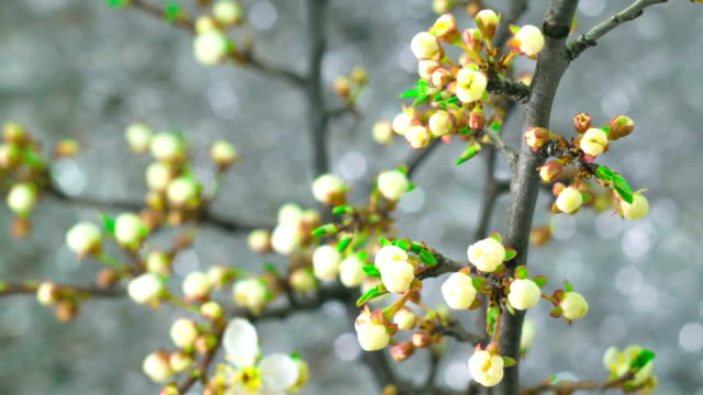 White Plum Tree Flowers. video