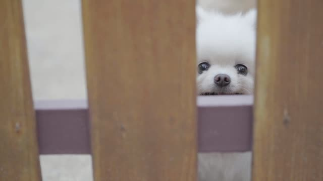 White Pomeranian dog cute pets happy smile. video