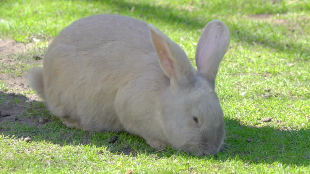 A white rabbit eating food on the ground A white rabbit eating food on the ground with a small black rabbit approaching to the white rabbit inside the zoo coonhound stock videos & royalty-free footage