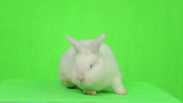 weißes kaninchen auf einem grünen bildschirm - osterhase stock-videos und b-roll-filmmaterial