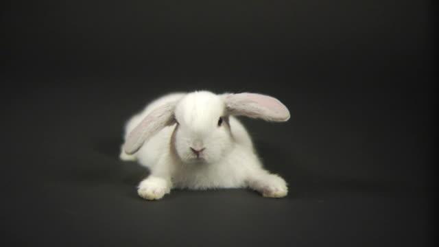 white rabbit on black background - tavşan hayvan stok videoları ve detay görüntü çekimi