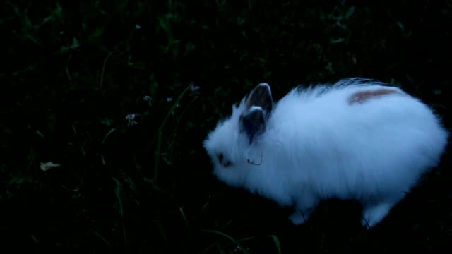 White rabbit on the grass video