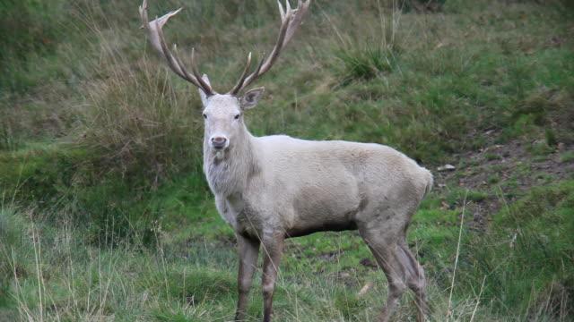 biały red deer - poroże filmów i materiałów b-roll