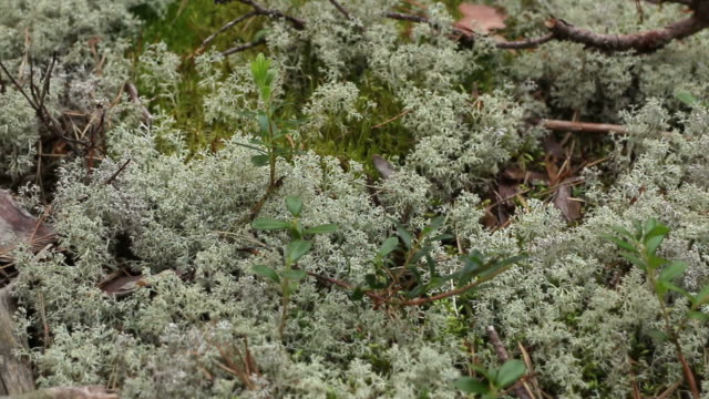 white reindeer moss close to - moss stock videos & royalty-free footage