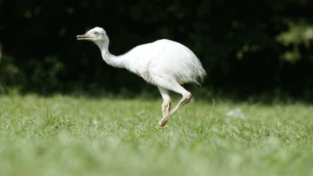 white rhea walking on a grass - arto inferiore animale video stock e b–roll