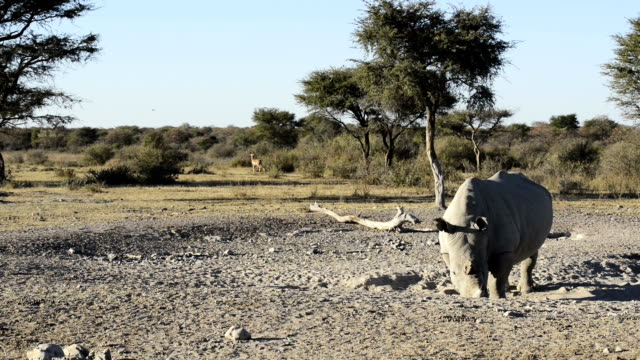 White Rhino On Safari African White Rhinoceros or Square-lipped Rhinoceros (Ceratotherium simum) on safari with Impala and birds in high definition panning footage botswana stock videos & royalty-free footage