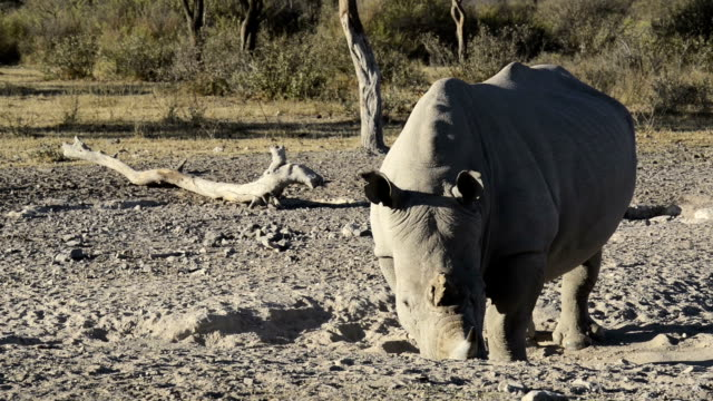 White Rhino African White Rhinoceros or Square-lipped Rhinoceros (Ceratotherium simum) close-up in high definition footage with slow zoom out botswana stock videos & royalty-free footage