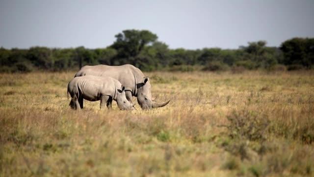 weißes nashorn botswana, afrika tierwelt - bedrohte tierart stock-videos und b-roll-filmmaterial