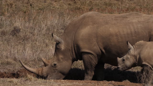 white rhinoceros, ceratotherium simum, mother and calf, nairobi park in kenya, real time 4k - молодое животное стоковые видео и кадры b-roll