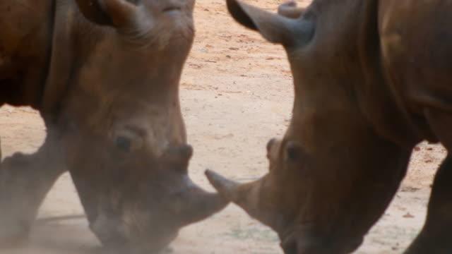breitmaulnashorn kämpfen - bedrohte tierart stock-videos und b-roll-filmmaterial