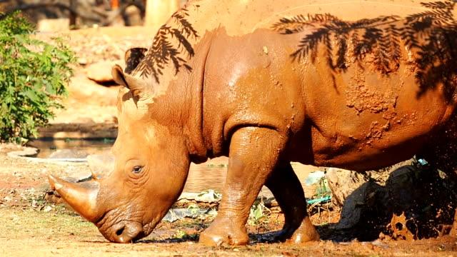 White Rhinoceros play in mud. video