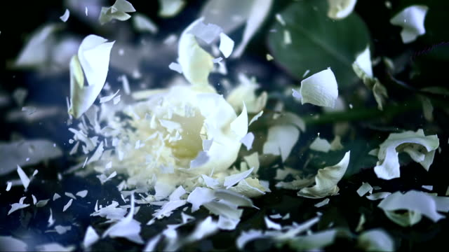 SLO MO White rose blossom shattering on black surface video