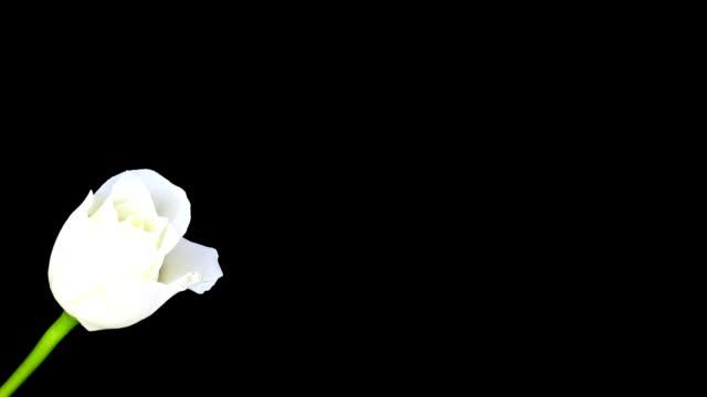 white rose blossom; time lapse - white roses bildbanksvideor och videomaterial från bakom kulisserna
