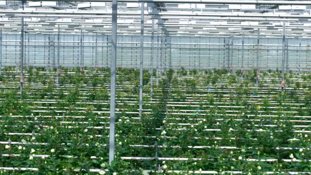White rose bushes grow under greenhouse equipment.