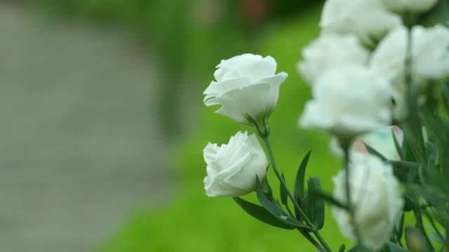 vita rosor skakar med vinden - white roses bildbanksvideor och videomaterial från bakom kulisserna
